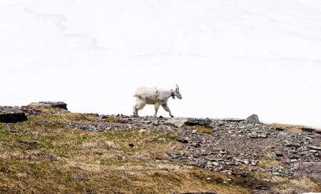 Molting mountain goat in Glacier National Park, USA Фото со стока