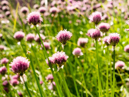 Chive flowers blooming on a field