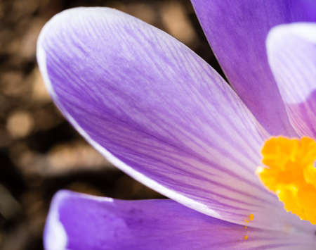 Macro shot of a purple crocus flower in full bloom