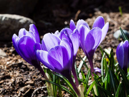 Close up shot of crocus flowers on a garden bed in full bloom
