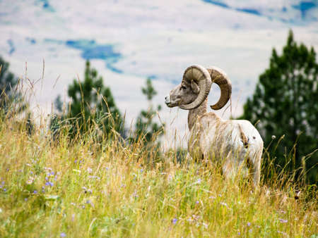 American bighorn sheep on a meadow in National Bison Range, a wildlife reserve in Montana, USA Reklamní fotografie