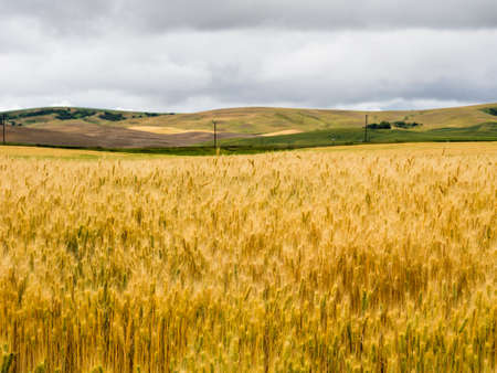 Stormy clouds over fiedls of ripe wheat in Eastern Washington state, USA
