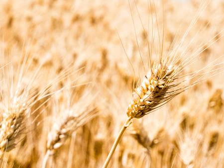 Field of golden ripe wheat in Eastern Washington state, USA