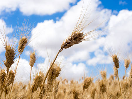 Golden ripe wheat against blue sky with clouds in Eastern Washington state, USA