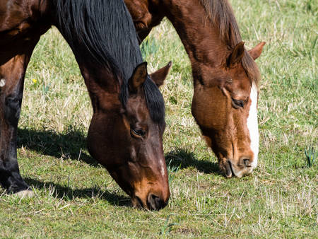 Two horses grazing on grass on a pasture Stock Photo