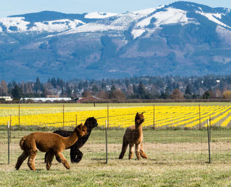 Alpacas on a farm in Skagit Valley with daffodil fields in bloom - Washington state, USA
