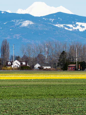 Skagit Valley farmlands in spring with blooming daffodil fields and Mount Baker - Washington state, USA Stock Photo
