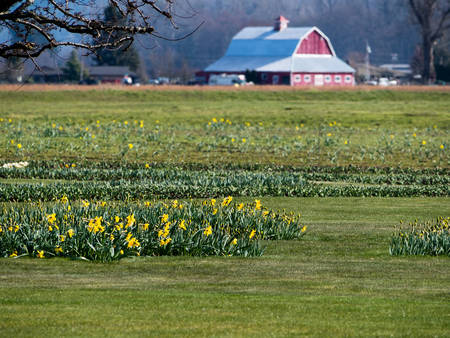 Skagit Valley farmlands with blooming daffodil fields in spring - Washington state, USA