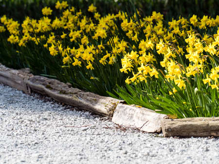 Daffodils growing on a garden bed in springtime Stock Photo