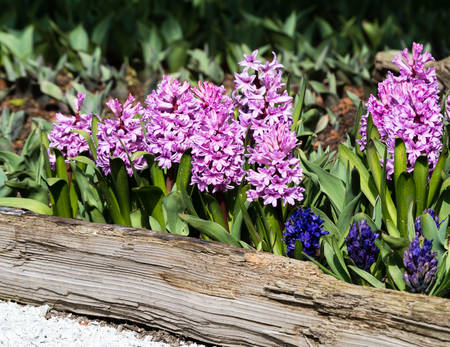 Pink hyacinth flowers growing on a garden bed in springtime Stock Photo