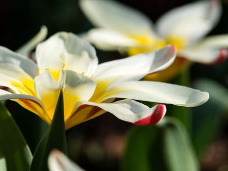 Close up shot of two Lady Jane tulips in full bloom Stock Photo