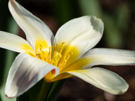 Close up shot of a Lady Jane tulip in full bloom