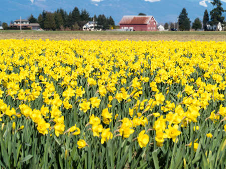 Blooming daffodil fields in Skagit valley - Washington state, USA Stock Photo