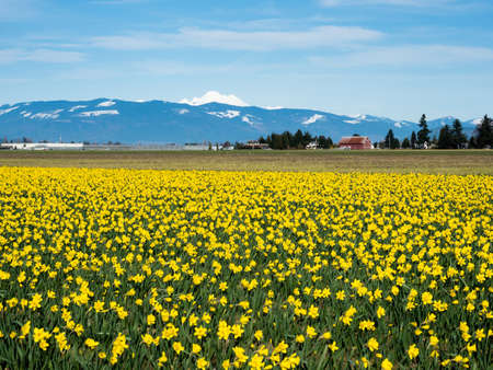 Blooming daffodil fields in Skagit valley with Mount Baker at the bakground - Washington state, USA