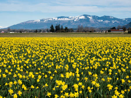 Blooming daffodil fields in Skagit valley with snowy mountains at the bakground - Washington state, USA