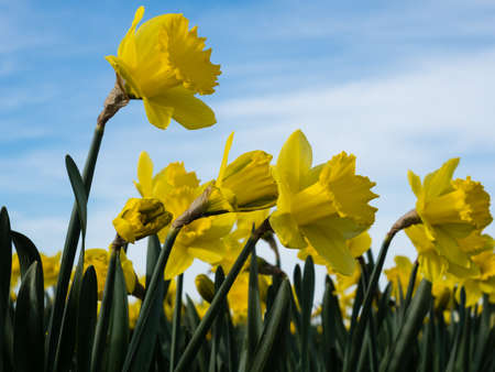 Yellow daffodils growing on a field against blue sky in Skagit Valley, Washington state, USA