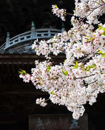 Cherry blossoms in Ryozenji, temple number 1 of Shikoku pilgrimage Stock Photo