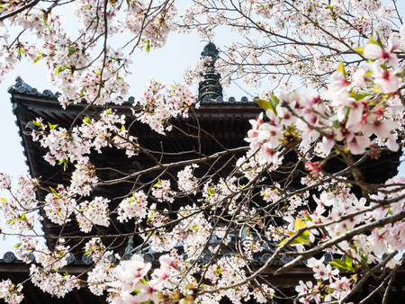 Cherry blossoms at a Buddhist temple in Japan
