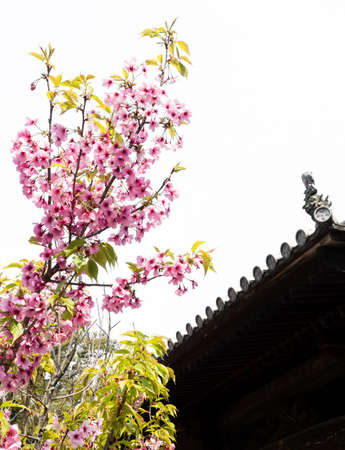 Pink cherry blossoms at a Buddhist temple in Japan