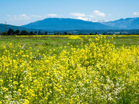 Summer in Skagit Valley, WA, with canola flowers blooming on the fields Stok Fotoğraf