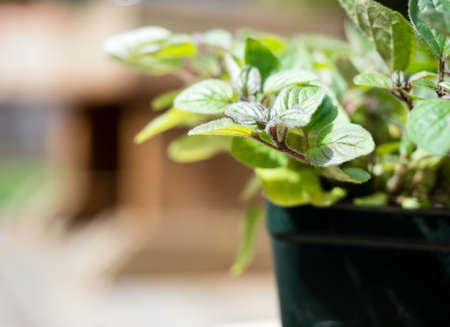Close up shot of oregano plant in plastic pot ready to be planted in the garden