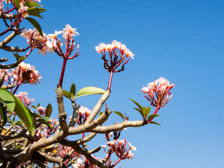 Pink frangipani flowers against the blue sky