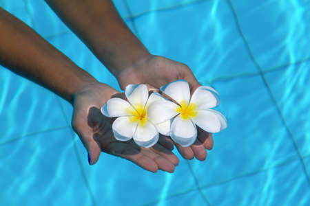 Frangipani flowers in hands in the swimming pool photo