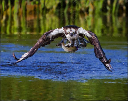 bird eating raptors: Osprey with a fish catch Stock Photo