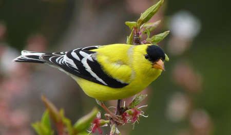 goldfinch: American Goldfinch Resting on a vine