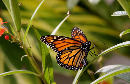 Monarch Butterfly with its wings up on a flower Banco de Imagens - 48998353