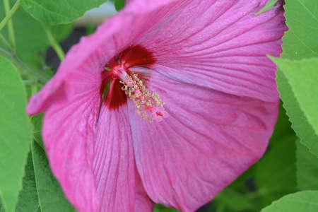 Stunning Pink Hibiscus