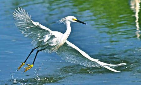 egret: Great egret taking off on the Manasqaun River Stock Photo
