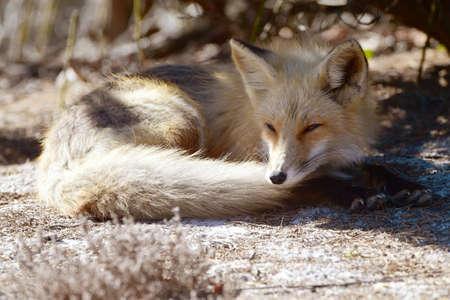 Red fox resting under a tree Banco de Imagens