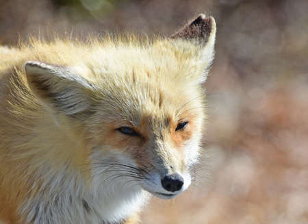 Red fox what do you want