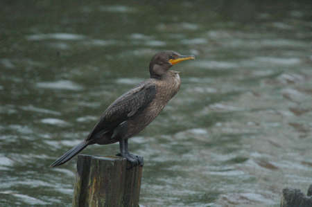 piling: Double - Crested Cormorant: Sitting on a piling in the rain.