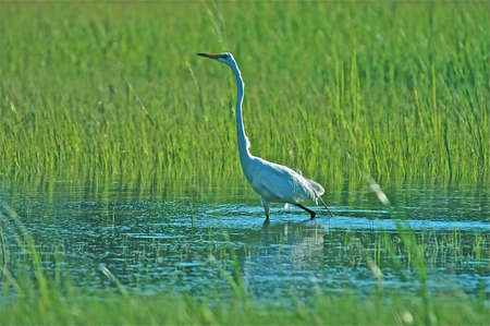 salt marsh: Great White Egret taking a stroll throgh the marsh Stock Photo