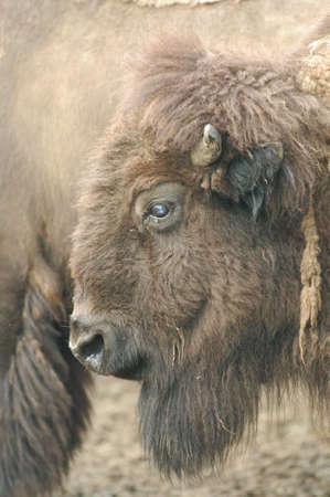 buffalo on the range