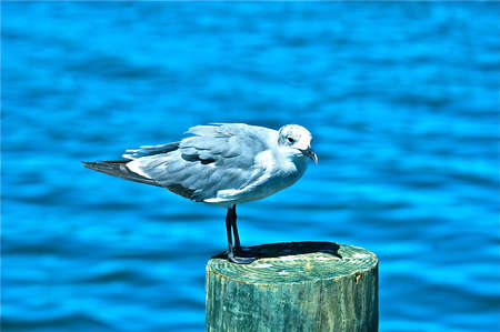 gull: Sea gull haning out on a piling Stock Photo