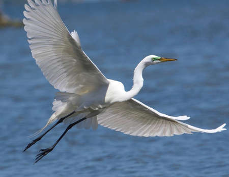 White Egret In flight over the Manasquan Inlet
