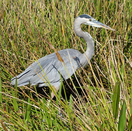 blue heron: Blue Heron hiding in the brush