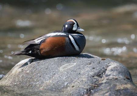 arlecchino: Anatra Arlecchino seduto su una roccia