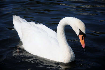 mute swan: Mute Swan bows head with water droplet