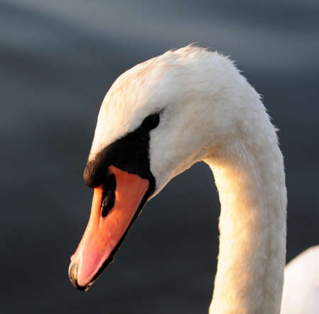 Mute Swan with sunlight on neck