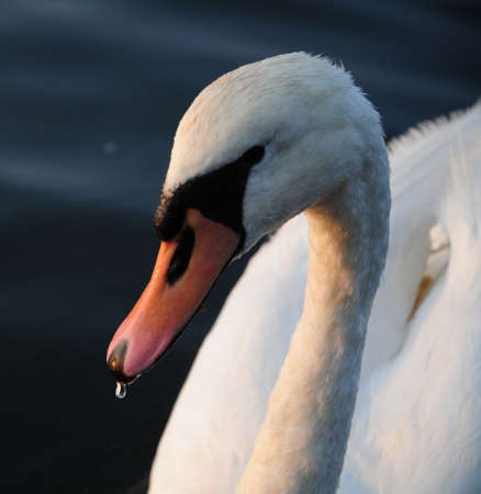 wanting: Mute Swan wanting its pic taken Stock Photo