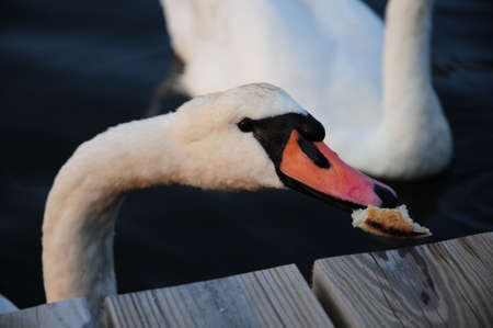 mute swan: Mute Swan eating a piece of muffin
