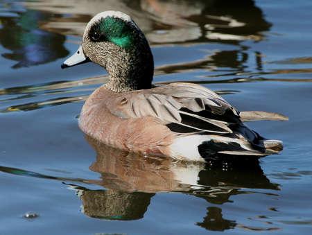 drake: American Drake duck