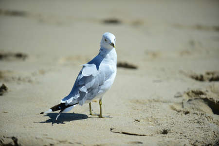 seabird: haning out on the beach ring-billed gull