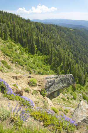 ponderosa: Ponderosa Pines in Payette National Forest near McCall Idaho Stock Photo