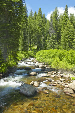 ponderosa: Ponderosa Pines with creek in Payette National Forest near McCall Idaho
