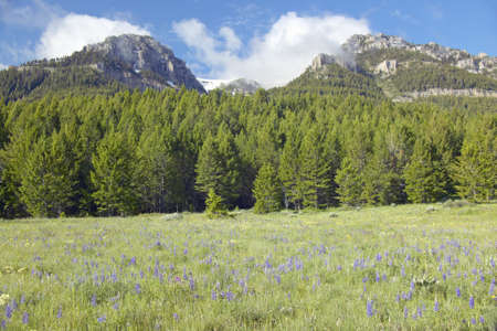 centennial: Purple lupine and mountains in Centennial Valley near Lakeview, MT